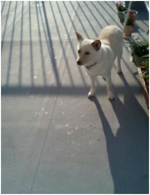 犬達のSOS『毒ガス室前日に救出の姫ちゃん日記⑤ミーママ昨夜は3時間も眠れましたo(^-^)』006
