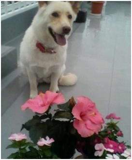 犬達のSOS『毒ガス室前日に救出の姫ちゃん日記⑤ミーママ昨夜は3時間も眠れましたo(^-^)』012