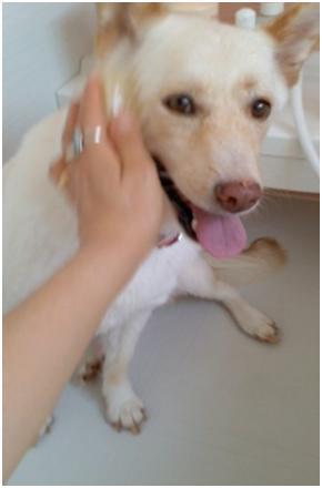 東温市犬達のSOS、背骨とシッポが変形しているワサビ君と毒ガス室殺処分前日に助けられた姫ちゃん⑧004