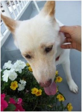 東温市犬達のSOS、背骨とシッポが変形しているワサビ君と毒ガス室殺処分前日に助けられた姫ちゃん⑧005