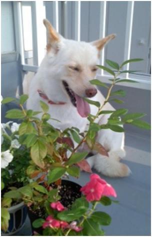 東温市犬達のSOS、背骨とシッポが変形しているワサビ君と毒ガス室殺処分前日に助けられた姫ちゃん⑧006