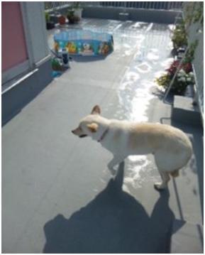 東温市犬達のSOS、背骨とシッポが変形しているワサビ君と毒ガス室殺処分前日に助けられた姫ちゃん⑧012
