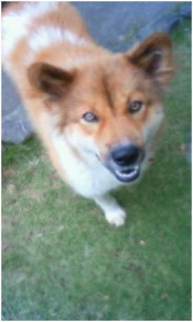 東温市犬達のSOS、背骨とシッポが変形しているワサビ君と毒ガス室殺処分前日に助けられた姫ちゃん⑧015