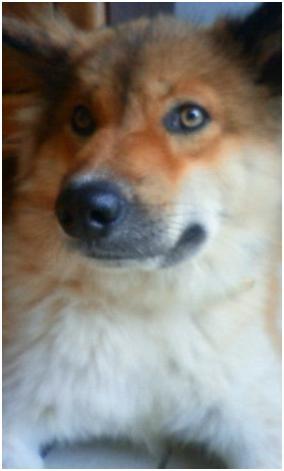 東温市犬達のSOS、背骨とシッポが変形しているワサビ君と毒ガス室殺処分前日に助けられた姫ちゃん⑧016