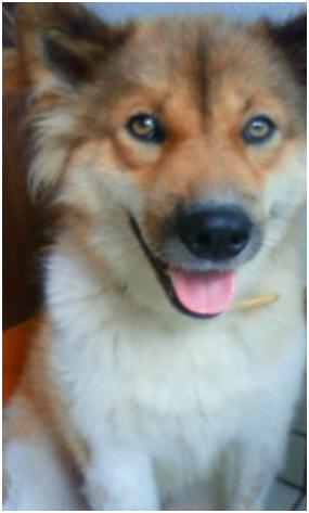 東温市犬達のSOS、背骨とシッポが変形しているワサビ君と毒ガス室殺処分前日に助けられた姫ちゃん⑧017