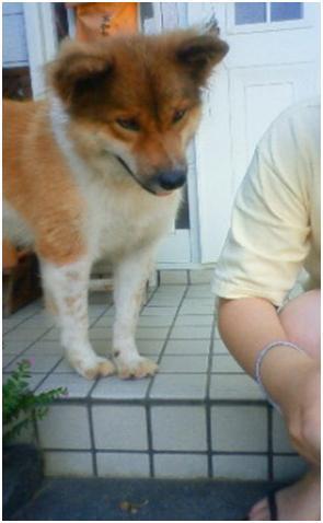 東温市犬達のSOS、背骨とシッポが変形しているワサビ君と毒ガス室殺処分前日に助けられた姫ちゃん⑧019