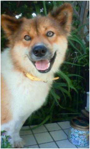 東温市犬達のSOS、背骨とシッポが変形しているワサビ君と毒ガス室殺処分前日に助けられた姫ちゃん⑧021