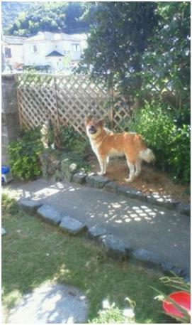 東温市犬達のSOS、背骨とシッポが変形しているワサビ君と毒ガス室殺処分前日に助けられた姫ちゃん⑧022