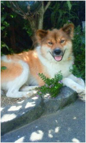 東温市犬達のSOS、背骨とシッポが変形しているワサビ君と毒ガス室殺処分前日に助けられた姫ちゃん⑧023