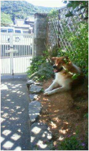 東温市犬達のSOS、背骨とシッポが変形しているワサビ君と毒ガス室殺処分前日に助けられた姫ちゃん⑧024