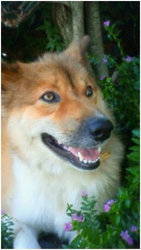 東温市犬達のSOS、背骨とシッポが変形しているワサビ君と毒ガス室殺処分前日に助けられた姫ちゃん⑧025