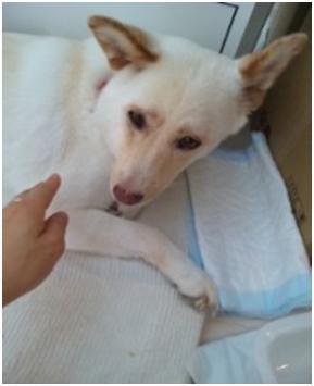 東温市犬達のSOS、背骨とシッポが変形しているワサビ君と毒ガス室殺処分前日に助けられた姫ちゃん⑧029