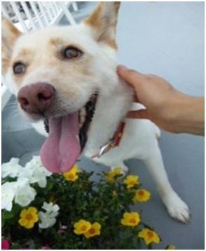 東温市犬達のSOS、背骨とシッポが変形しているワサビ君と毒ガス室殺処分前日に助けられた姫ちゃん⑧034