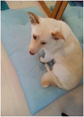 東温市犬達のSOS、背骨とシッポが変形しているワサビ君と毒ガス室殺処分前日に助けられた姫ちゃん⑧037