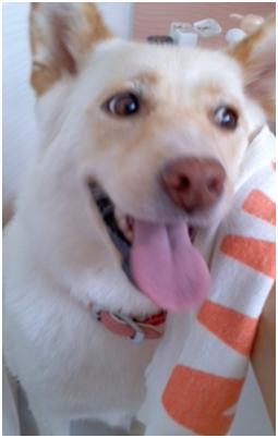 犬たちのSOS公務員の致死量睡眠薬餌の生き残り姫ちゃんは毒ガス窒息死処分前日に助けられここに⑨007