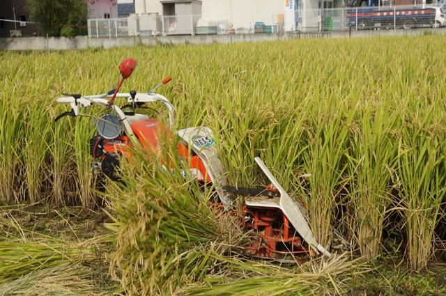 クボタバインダーRE35、稲排出中