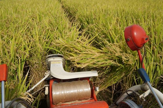 稲の束、排出!