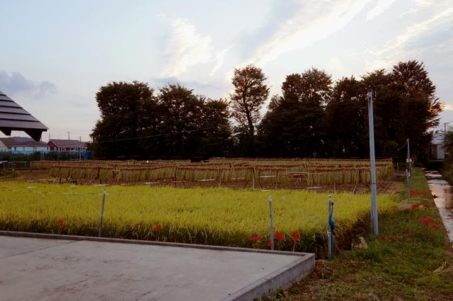 小学生用の稲をの残した、田んぼ2012秋