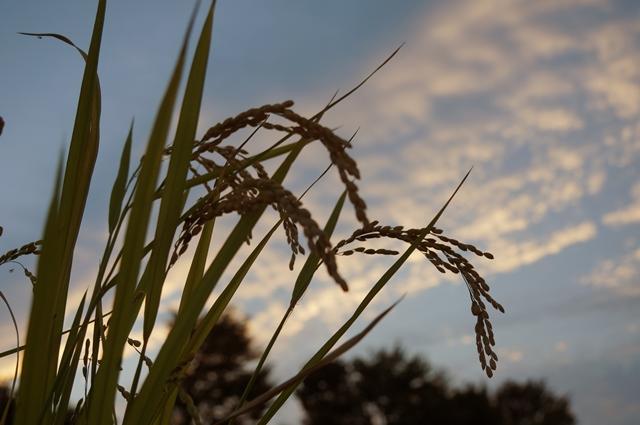 稲穂と秋の夕空 2012 秋