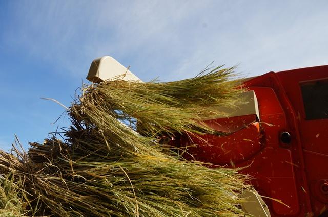 こき終わって排出される稲の束