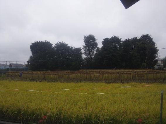 雨の中・はざかけの続き