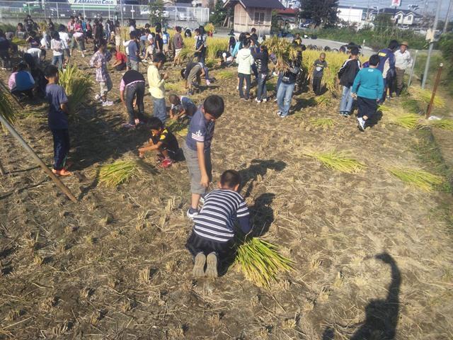 稲を刈る・稲をしばる小学生達