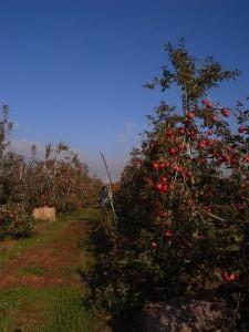 2012リンゴ3