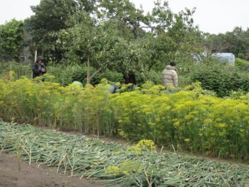 07 2012 ポーランドの家庭菜園  (収穫)