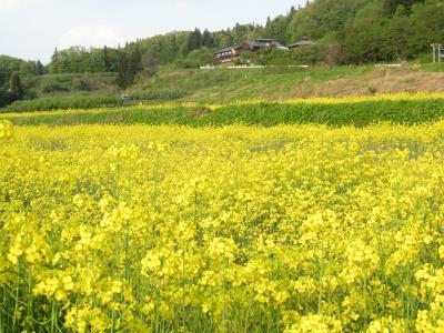 菜の花の絨毯