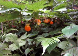田植えイチゴ