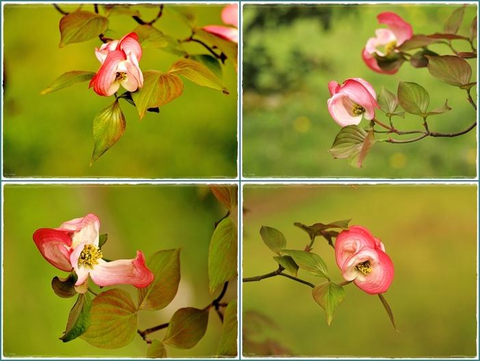 花水木4枚