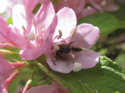 タニウツギにミツバチ