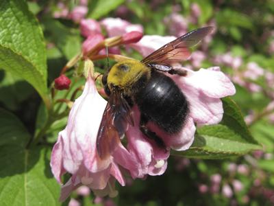 タニウツギにクマバチ