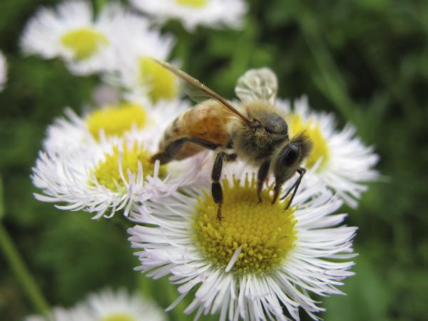 ハルジオンとミツバチ