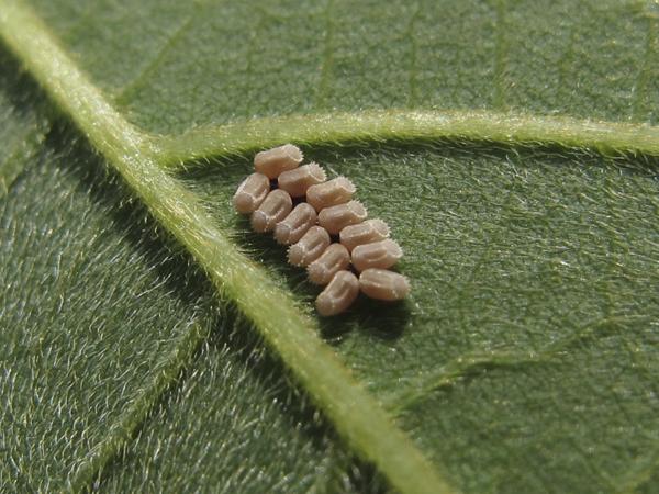 マルカメムシ卵