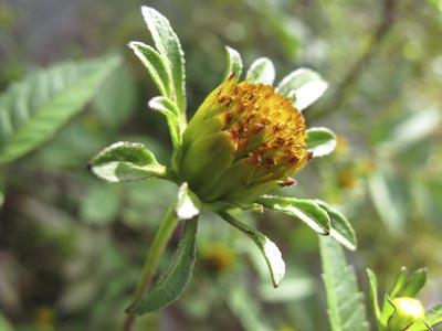 アメリカセンダングサ花