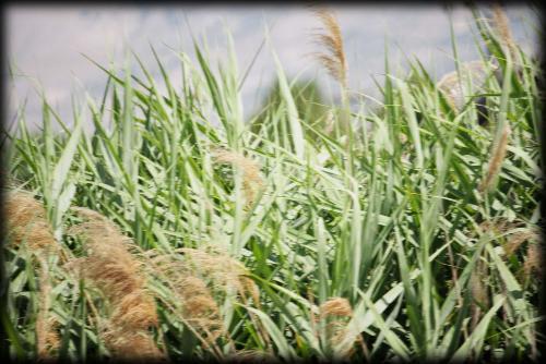 315毒麦と見分3