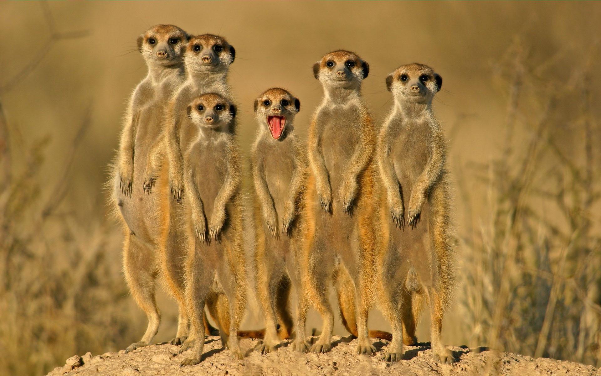 desert-meerkats-smile-砂漠ミーアキャット笑顔 (1)