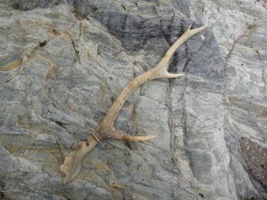 頭骨付き鹿の角