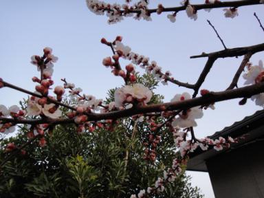 2013年杏子の花