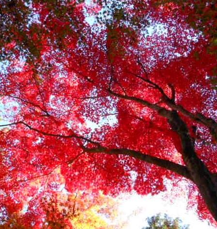 京都 光明寺の紅葉 050