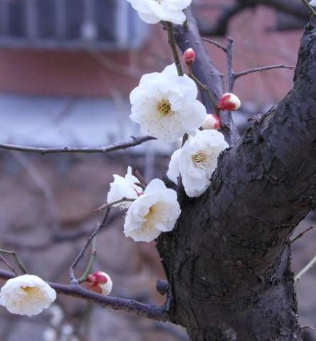 公園岡本梅林 002