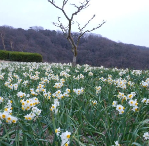 菜の花 しあわせの村、水仙 050