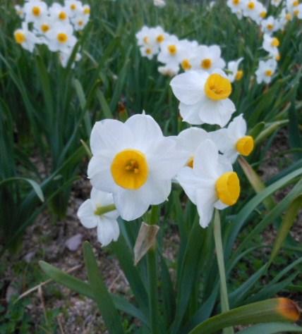 菜の花 しあわせの村、水仙 031