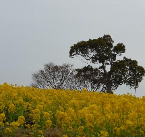 菜の花 しあわせの村、水仙 023