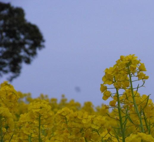菜の花 しあわせの村、水仙 013