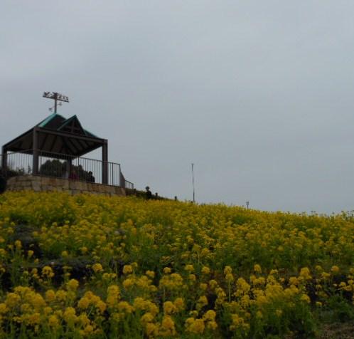 菜の花 しあわせの村、水仙 005