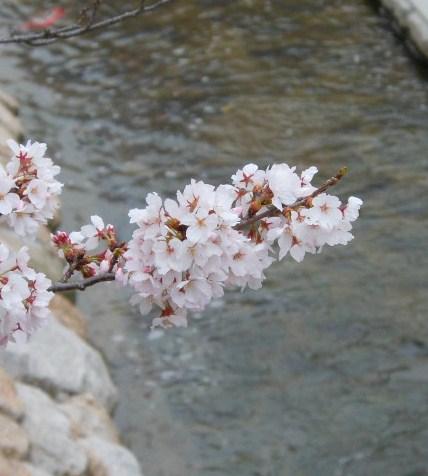 桜 有馬 033