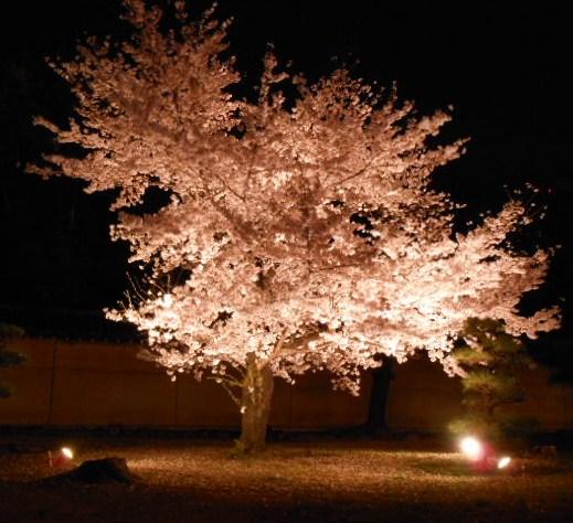 桜 071