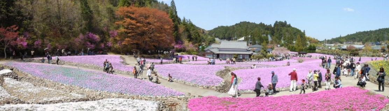 芝桜パノラマ 1